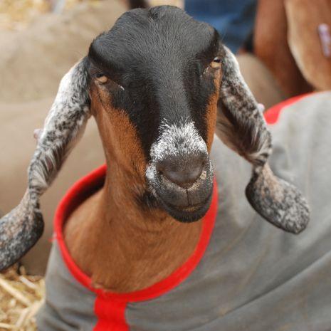 Kupię kozy anglonubijskie