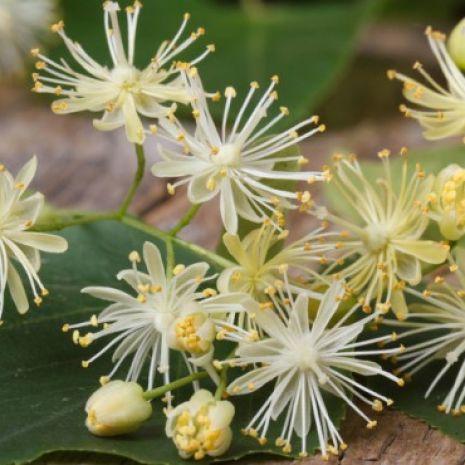 Kwiat lipy - syrop
