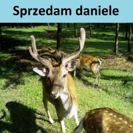 Daniele