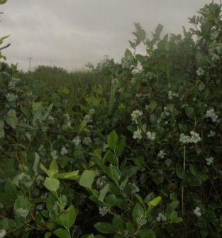 Borówka amerykańska odmiana BLUCROP, DUKE