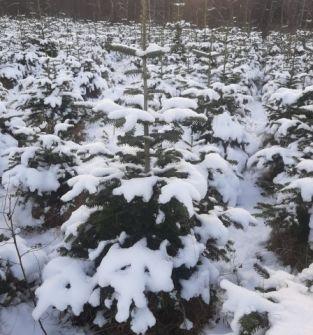 Drzewko choinkowe - jodła kaukaska