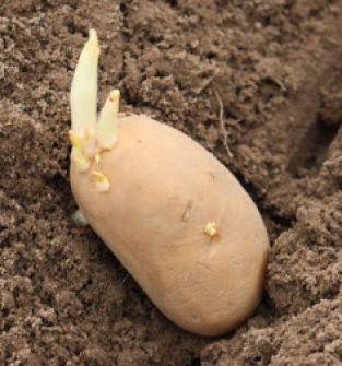 Ziemniaki - sadzeniaki