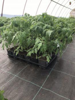 Rozsada pomidorów, batatów, papryki, dyni, ogórków