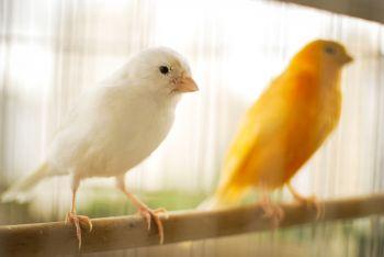 Ptaki ozdobne - kanarki, gołąbki diamentowe