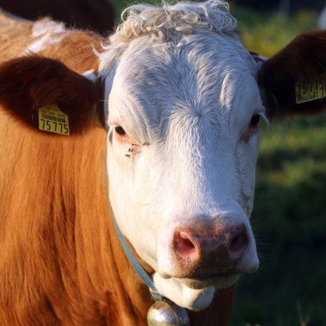 Kupię krowę mleczną rasy simental