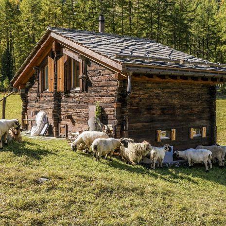 Kupię owce rasy Dorper