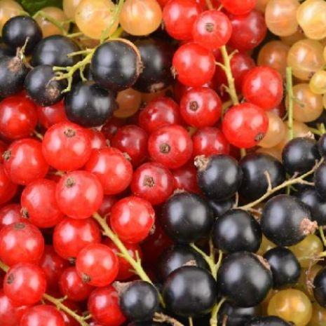 Skup owoców miękkich - porzeczka, malina