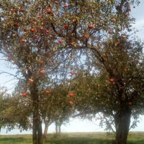 Sprzedam jabłka spady i rwane różne rodzaje
