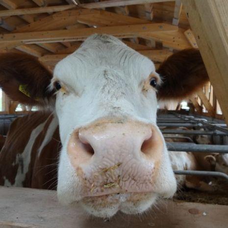 Krowy rasy Simental