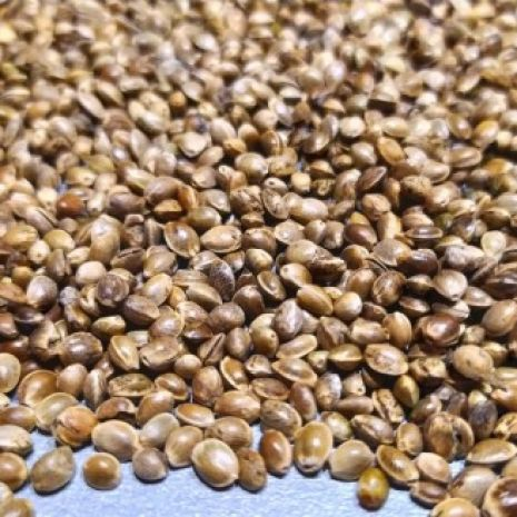 Ziarno, nasiona konopi włóknistej na olej, zbiór 2020