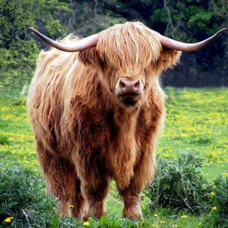 """Highland """"Szkockie bydło górskie"""