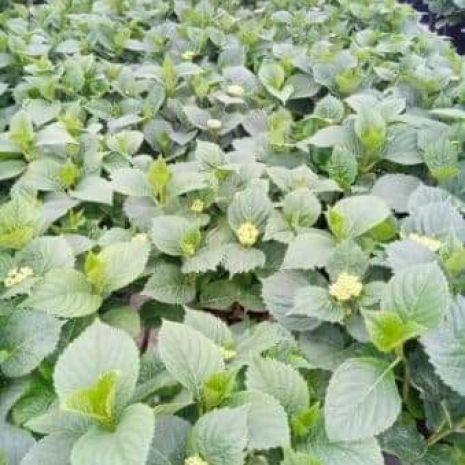 Hortensje ogrodowe - nowości