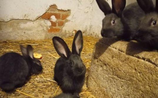 Sprzedam króliki 3-miesięczne