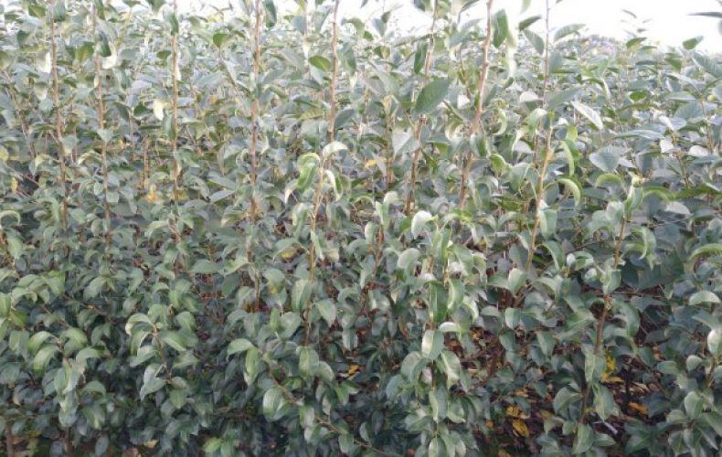 Sadzonki drzew owocowych oraz krzewów owocowych